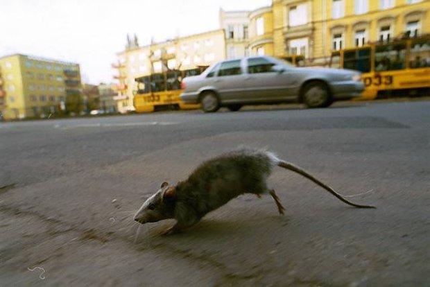 z4507615Q,Szczur-miejski