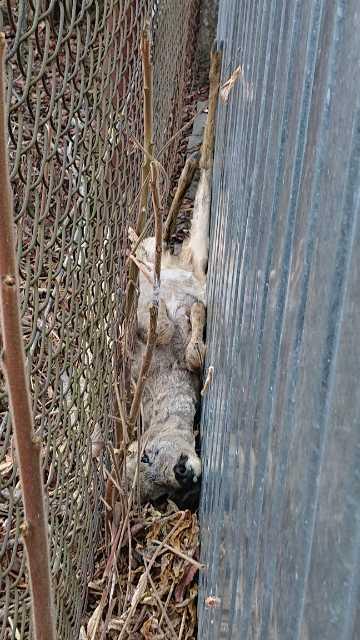 zdjęcie przedstawia leżącą sarnę, zaklinowaną pomiędzy płotem a ścianą metalowego garażu