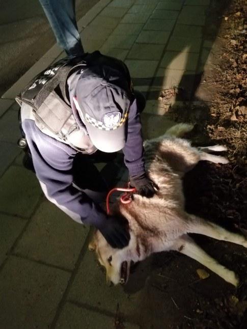 Zdjęcie przedstawia strażnika miejskiego pochylającego się nad leżącym psem