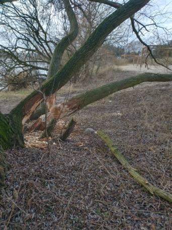 Zdjęcie przedstawia drzewo podgryzione przez bobry